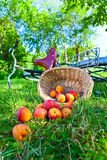 Scattered apricots Stock Photography