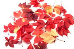Scattered autumn leaves on white background Stock Images