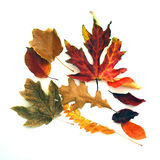 Scattered Fall Leaves. A group of dried multicolored fall leaves on white Stock Photography