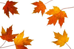Scattered Fall Maple Leaves on White Background Royalty Free Stock Images