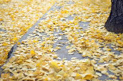 Scattered Ginko Leaves Autumn Royalty Free Stock Images