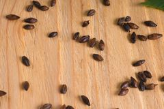Scattered grains of chocolate barley malt on a light wooden back. Ground and a sheet of hops stock photography