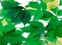 Scattered green leaves. Virginia creeper leaves Royalty Free Stock Photos