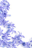 Scattered  hyacinth flowers. As a background with place for your text Stock Photography