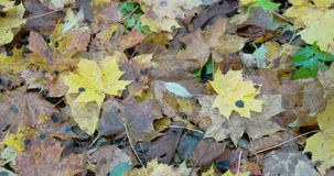 Scattered maple leaves on the ground on autumn FS700 4K stock video