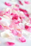 Scattered petals. Rose petals scattered, shallow dof Royalty Free Stock Photos