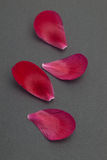 Scattered red flower petals on black Royalty Free Stock Images
