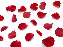 Scattered red Rose petals. A random scattering of red Rose petals on a white background stock photography