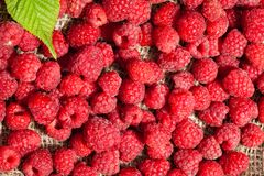 Scattered ripe raspberries Royalty Free Stock Photos