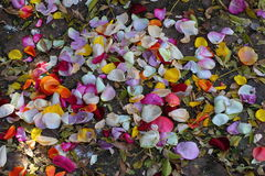Scattered rose petals. Still life - colorful rose petals scattered on the ground Stock Images
