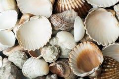 Scattered seashells background Stock Image