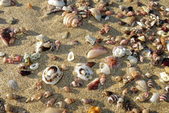 Scattered shells on sand. Y beach Royalty Free Stock Photo