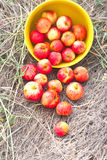 Scattered small red apples Stock Photos