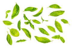 Scattered sweet basil leaves Royalty Free Stock Photo