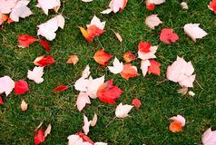 Scattered wet leaves on grass Stock Image