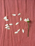 Scattered  white flower petals. Scattered white flower petals on wrinkled pink fabric Stock Images