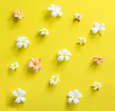 Scattered White Pink Frangipani Yellow Background Stock Photography