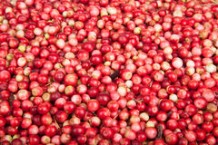Scattering of forest berries a cowberry Royalty Free Stock Image