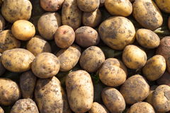 Scattering of potatoes Stock Photos