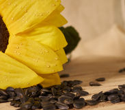 Scattering of seeds. Sunflower, sunflower seeds on wooden background Royalty Free Stock Image