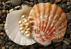 White pearls in seashell Royalty Free Stock Images