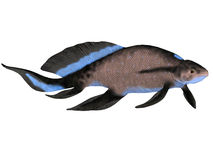 Scaumenacia Fish on White Stock Images