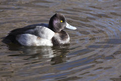 Scaup. Duck (scaup) resting on a local pond Royalty Free Stock Image