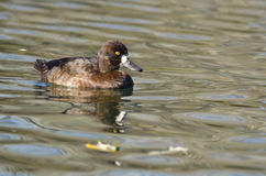 Scaup Duck Swimming in the Still Pond Waters Stock Images
