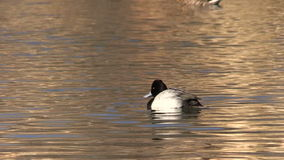 Scaup on Lake stock video