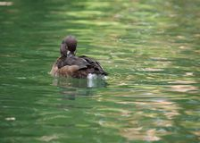 Scaup Stock Images