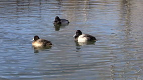 Scaup Swimming on Lake stock footage