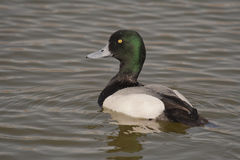 Scaup portrait. Scaup swimming in a lake in Spain Royalty Free Stock Images