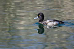 Scaup Swimming in the Still Pond Waters Stock Image