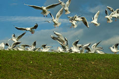 Scavaging Birds. A image showing the feathered pest on most if not all of the worlds beaches Seagulls, here the common Gull is flocking for food. Multi focus stock image