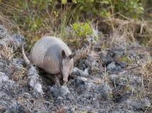 Scavatura dell'armadillo Immagini Stock