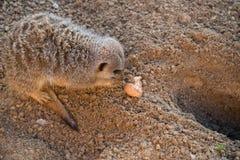 Scavatura di Meercat Fotografie Stock