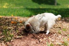 Scavatura di Terrier Immagini Stock