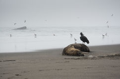 Scavenger bird Royalty Free Stock Photo