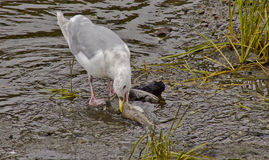 Scavenger birds feasing. Photo taken in Ketchikan, Alaska Royalty Free Stock Photography