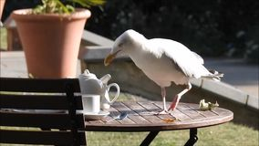 Scavenger seagull. Hd video footage of a seagull finishing off the leftovers from a cream tea picnic august 25th august 2017 stock footage