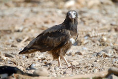 Scavenger vulture Royalty Free Stock Photos