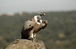 A scavenger vulture Stock Images