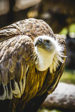 Scavenger vulture resting on a branch Stock Images