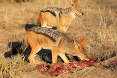 Scavenging black-backed Jackals royalty free stock photos