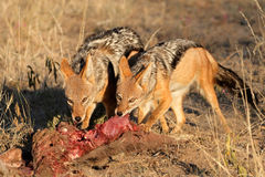 Scavenging black-backed Jackals Stock Images