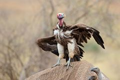 Scavenging lappet-faced vulture - Kruger National Park Royalty Free Stock Photography