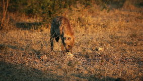 Scavenging spotted hyena stock video footage