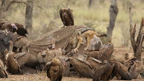 Scavenging vultures and black-backed jackal stock footage