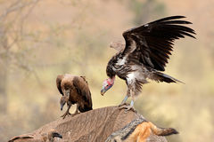 Scavenging vultures Royalty Free Stock Photos