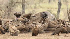 Scavenging white-backed vultures stock video footage